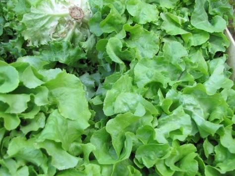 Salade des Primeurs